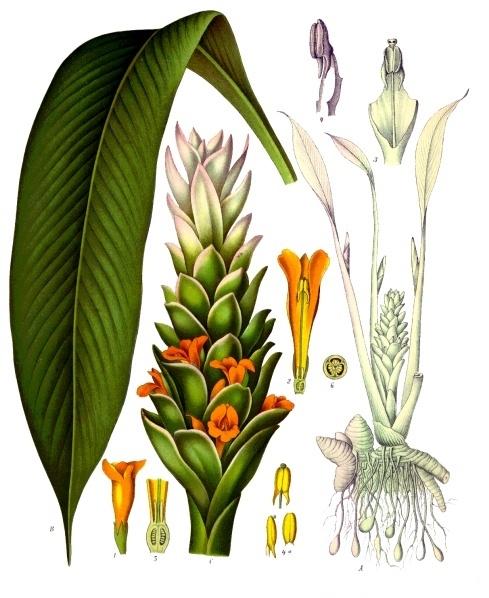 Copyright: Köhler Medizinalpflanzen