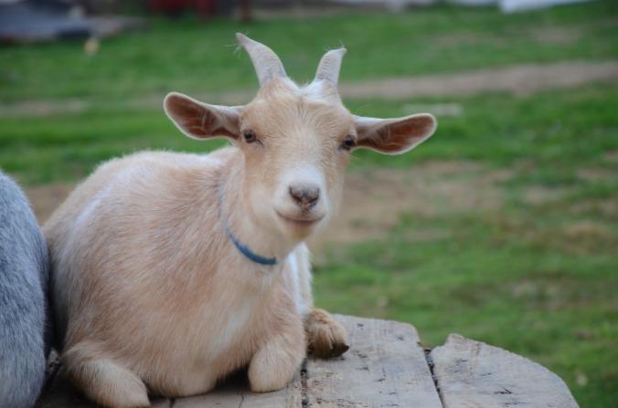 goat-671080_1280